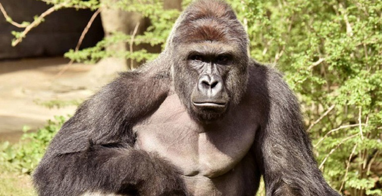 gorila_zoo_cincinnati