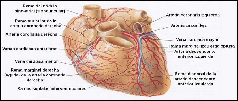 arterias_coronarias